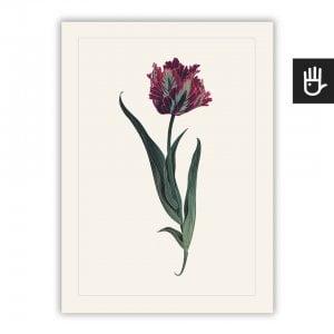 Plakat Tulipan Papuzi na białym tle